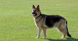 افضل كلب للحراسة ,اشهر انواع الكلاب الشريره