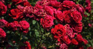 صور ورود جميله , اجمل انواع الورد