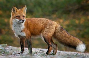 صورة ما هو صوت الثعلب ,حقائق مثيره عن الحيوانات