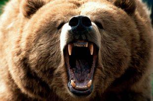 صورة معلومات جديده عن الدب , اسم صغير الدب