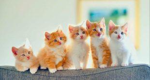 تربية القطط الصغيرة في المنزل
