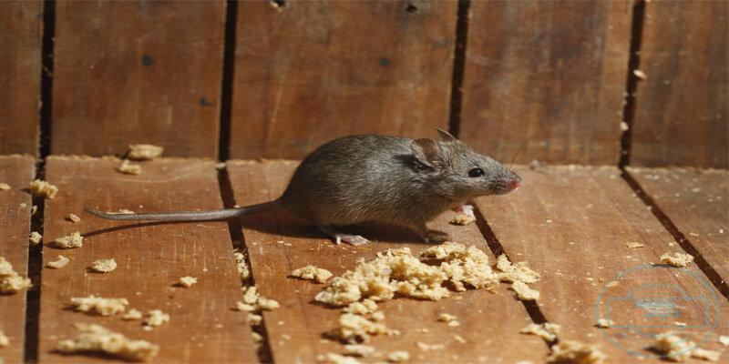 صورة كيفية التخلص من الفئران 5835