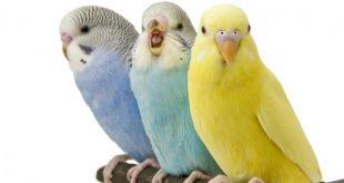 صورة اجمل عصافير الحب , من اجمل الكائنات التي يحبها الناس 9745 10 310x165